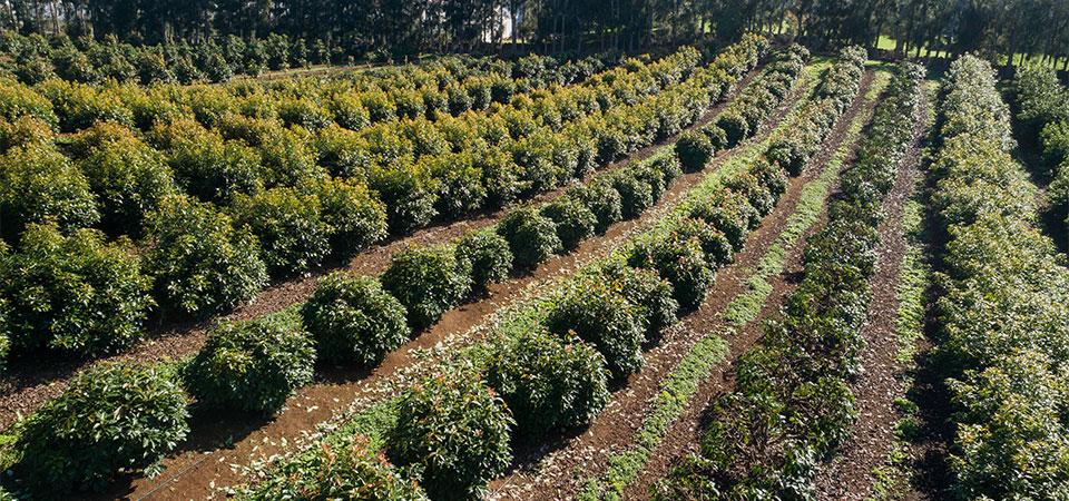 High Density Plantings